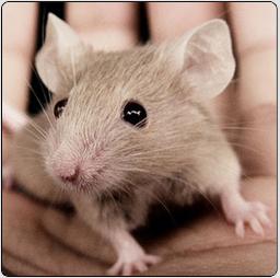 liminer souris maison un chat pour tuer les rats traitement souris sans nuisibles astuce. Black Bedroom Furniture Sets. Home Design Ideas